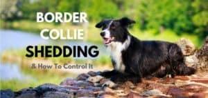 Border-Collie-Shedding