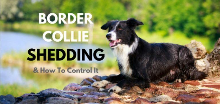 Border-Collie-Shedding