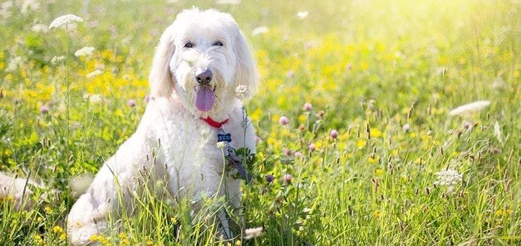 Best Brush For Poodles Labradoodles Goldendoodles And All