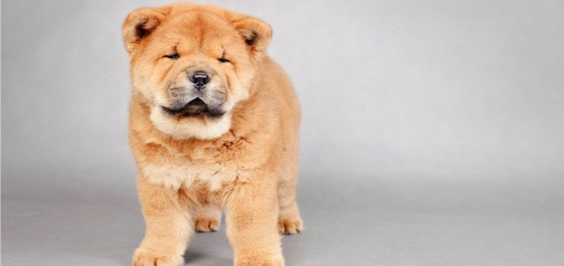 21 Dog Breeds That Look Like Bears Or