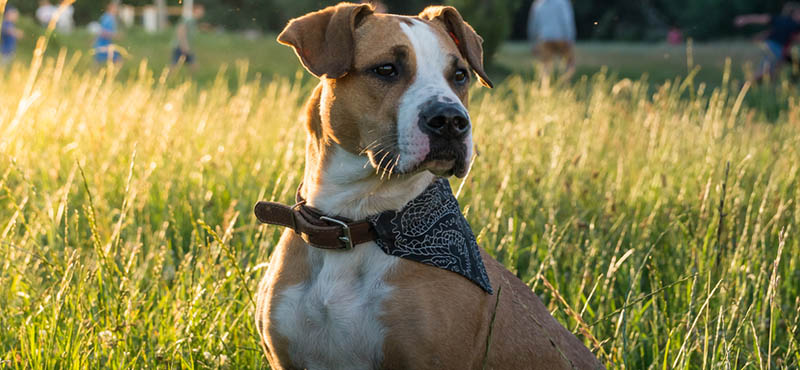dog-bandana
