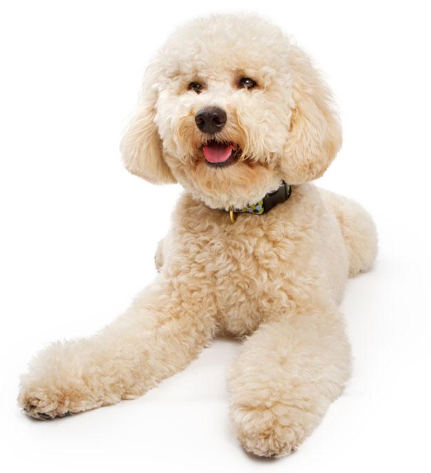 Golden color Labradoodle Dog