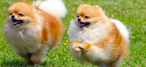 fluffy-dogs