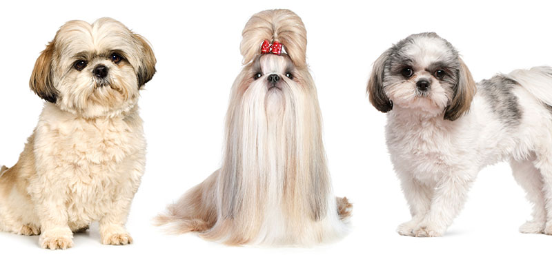 best-clippers-shih-tzu