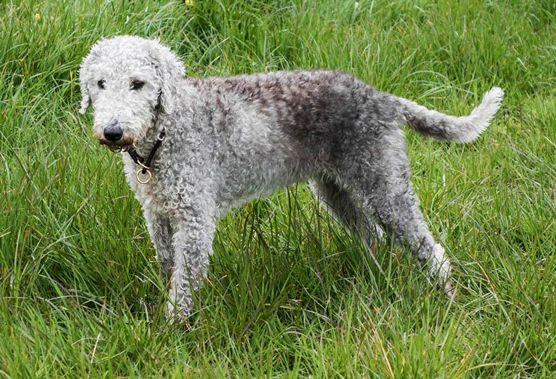16 Curly Haired Dog Breeds Playbarkrun