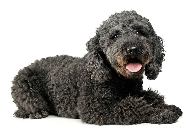 Big Dogs With Short Curly Hair 33