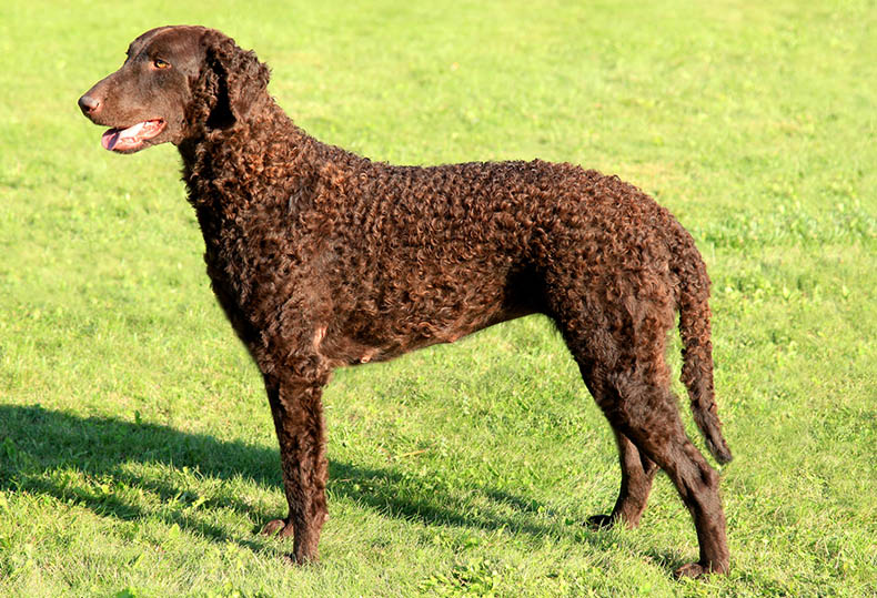 curly-coat-retriever
