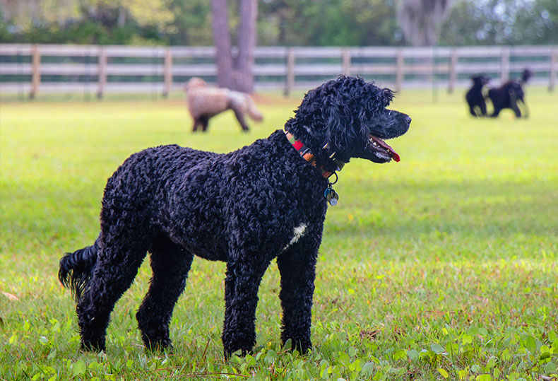 Big Dogs With Short Curly Hair 14