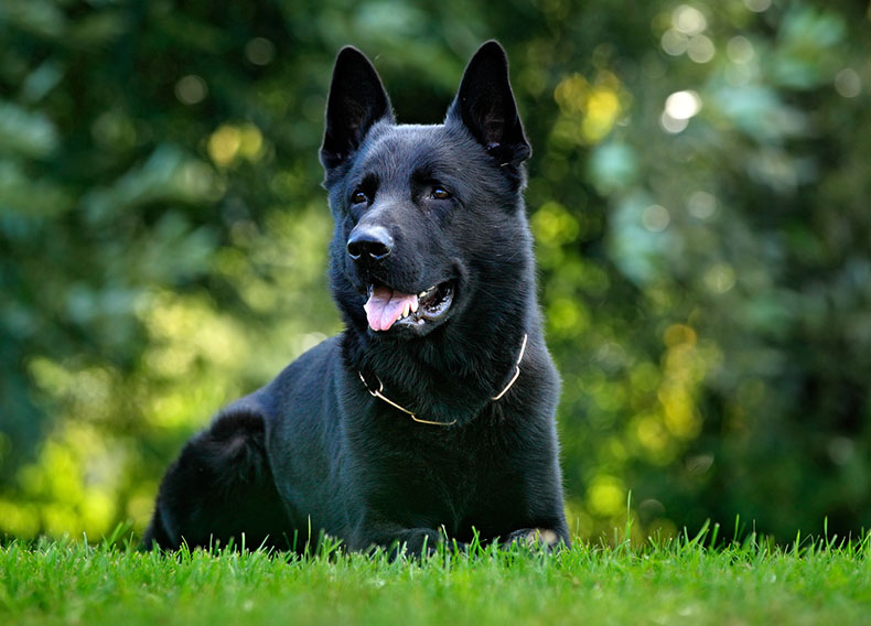 black coat german shepherd