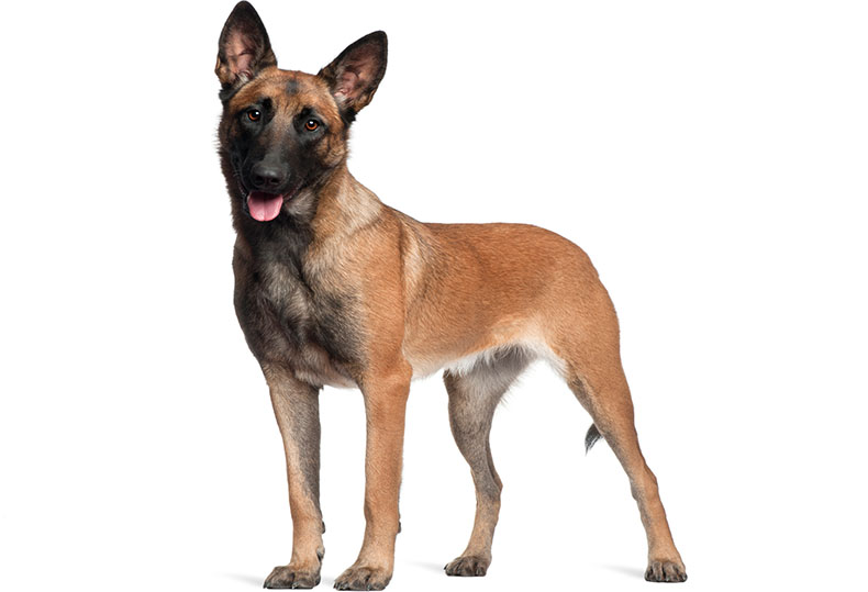 german shepherd short hair coat