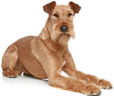 Irish Terrier small