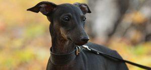 dog-neck-measurement