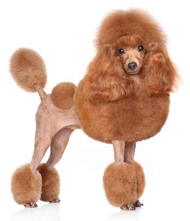 Poodle Haircuts Styles Expert Groomer Explains