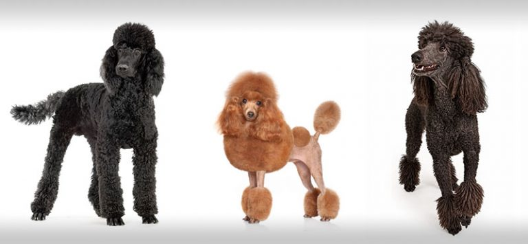 poodle-hairstyles