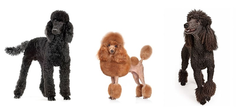Poodle Haircut Styles Expert Groomer