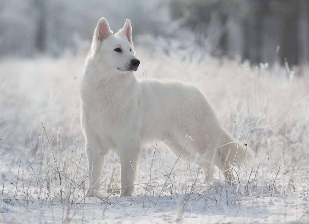 White Swiss Shepherd Dog - Berger Blanc Suiss